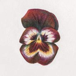 Pansy_Artwork_07